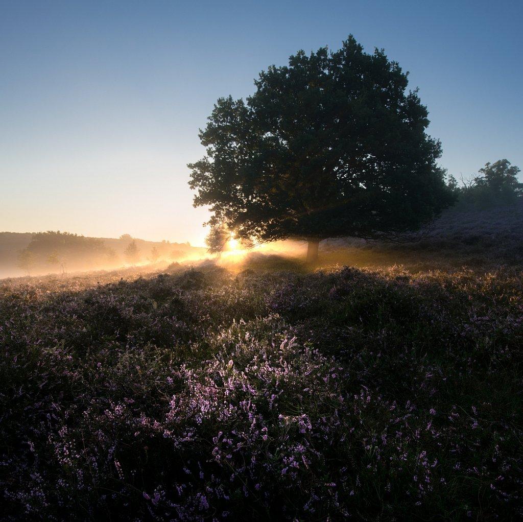 Heather Morning Glow